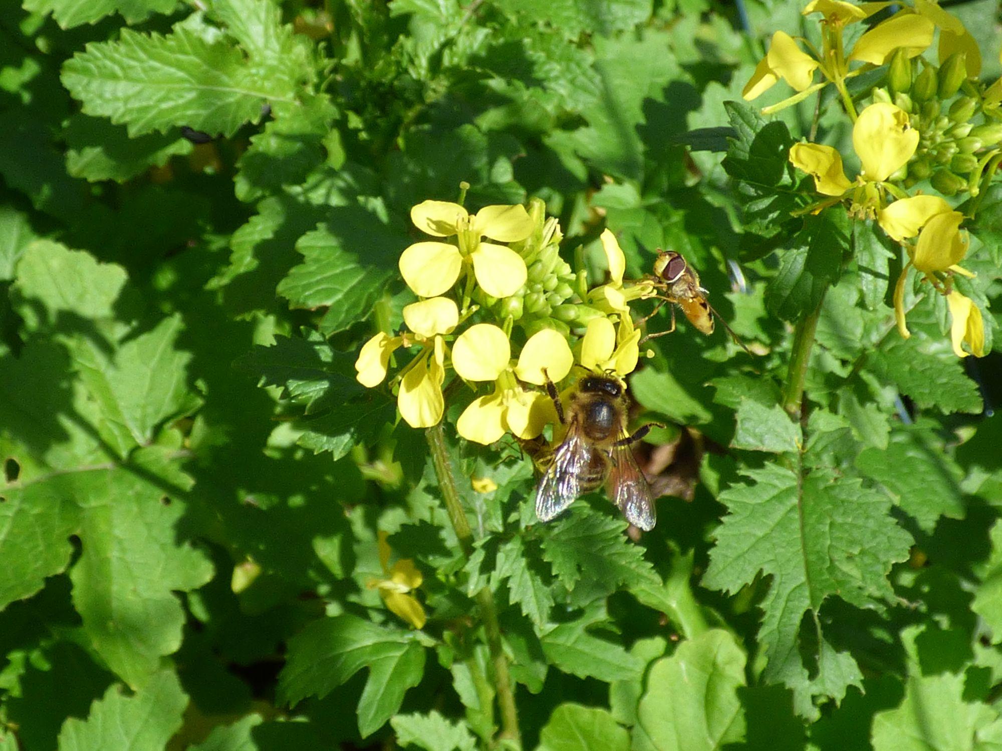 Senf auf den Beeten ist ein guter Gründünger und eine gute Bienenweide