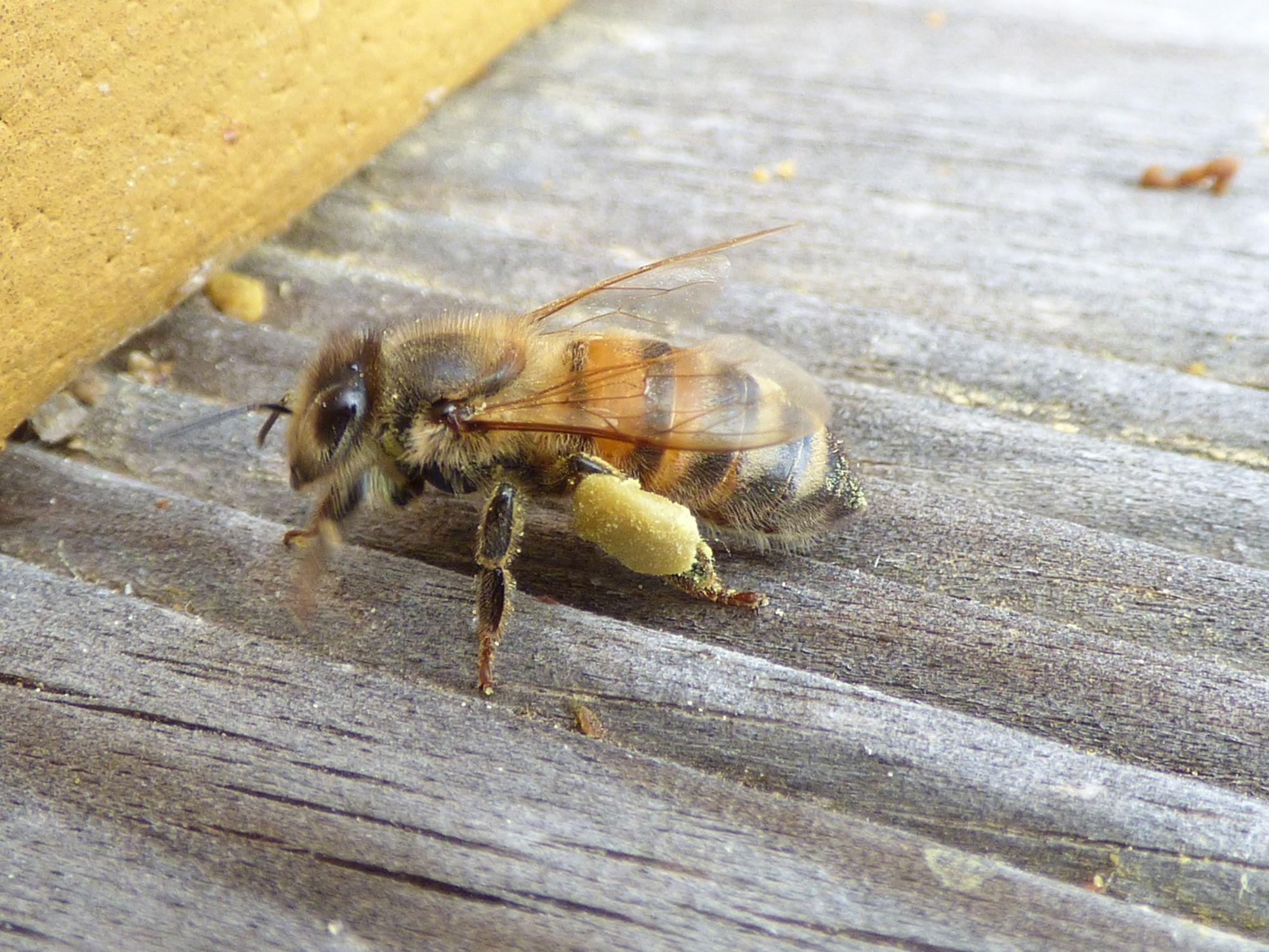 eine Bienen mit Pollenbeladung und dicken Höschen