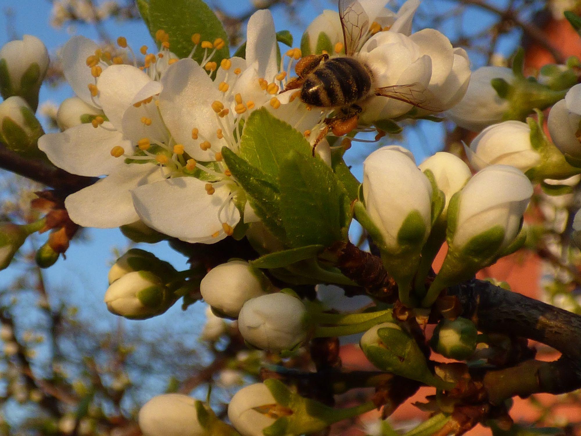 Biene beim Sammlen von Pollen auf einer Mirabelle,deutlich erkennbar die Höschen