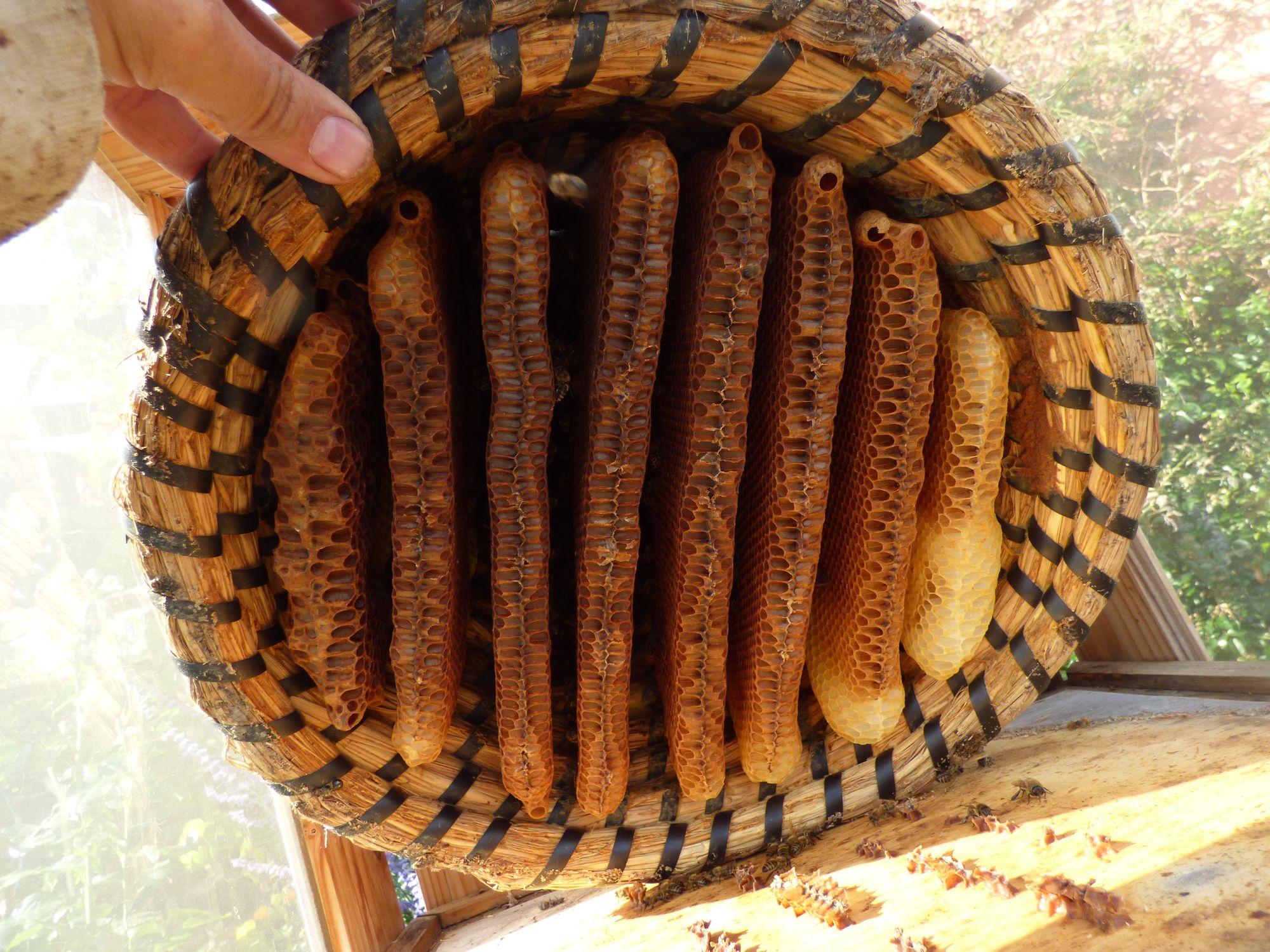 ein Bienenkorb von unten(am oberen Rand sind übrigens Weiselzellen zu sehen[die Weisel ist schon geschlüpft